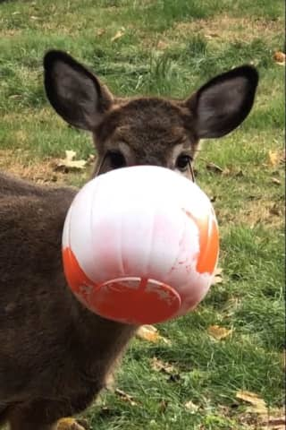 Deer Rescued In Area After Snout Gets Stuck In Halloween Bucket For Days