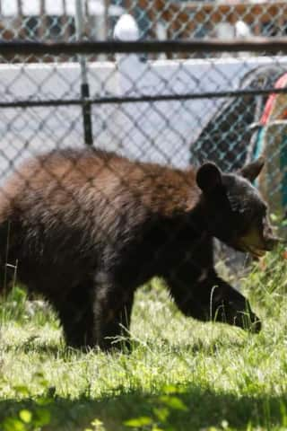 Black Bear Attacks NY Resident In Garage, Police Say