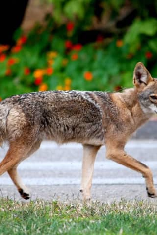 Coyote Sighting Outside Nearby Restaurant Prompts Students To Stay Indoors In Valhalla