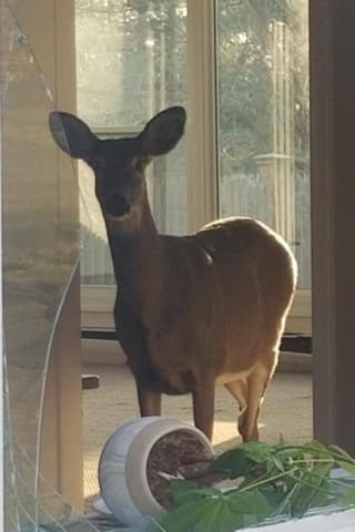Photos: Deer Makes Itself Right At Home For Thanksgiving In Area