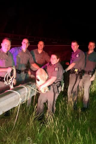 Troopers Manage To Lasso Cow Running Wild On NY State Thruway
