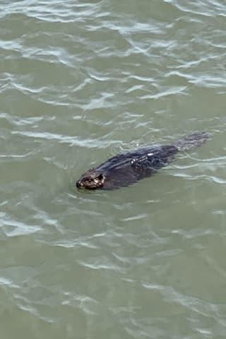 Rare Sighting: Man Walking Dog Captures Photos Of Beaver Swimming In Hudson River