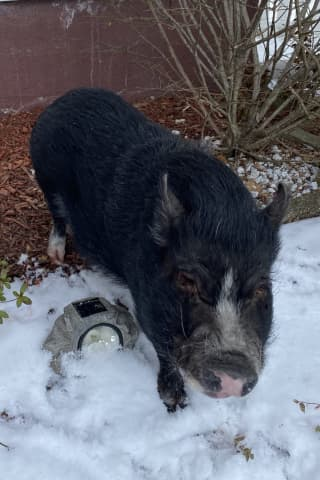 Good News, Owners Of Wandering Pig In Rockland Found