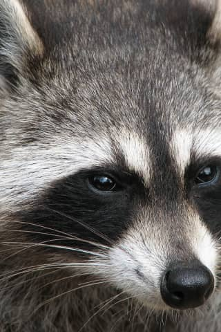 Woman, Child Attacked By 'Vicious' Rabid Raccoon At Bus Stop In Weston
