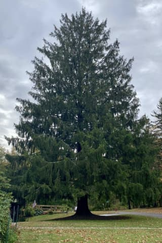 Rockefeller Center Christmas Tree Will Once Again Come From Orange County