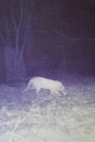 Post Of Mountain Lion Sighting In Hudson Valley Goes Viral