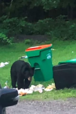 Brand-New Sighting: Black Bear Enjoys Sunday Brunch In Union Vale