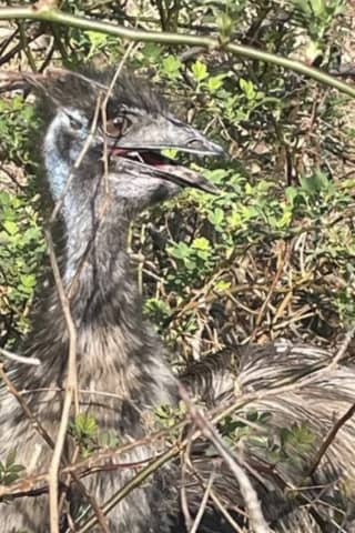 Lost Emu In Fairfield County, Yes Emu, Finds Its Way Home Via Social Media