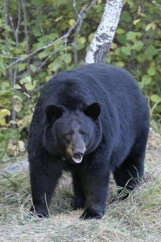 Large Bear Killed After Being Struck By Two Vehicles In Connecticut