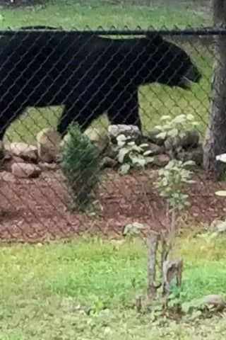 Photos: 'Backyard Bear' Is Latest Sighting In Hudson Valley