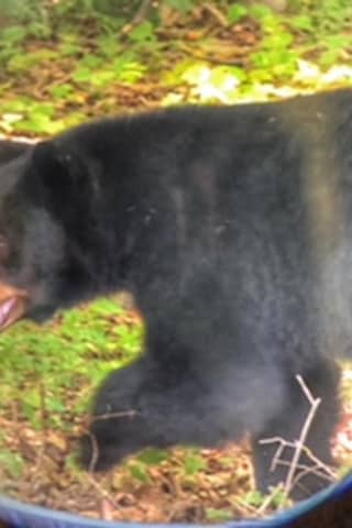 Meet 'Scrabble': Bear Sighted Frequently In Westchester Gets A Nickname