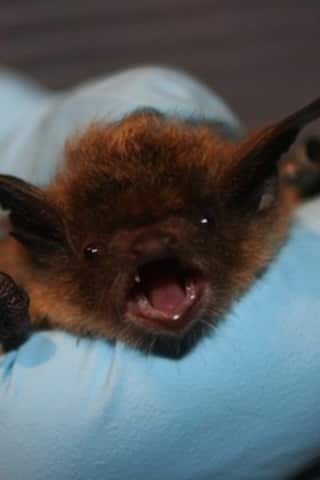 Bat Found In New Canaan Tests Positive For Rabies