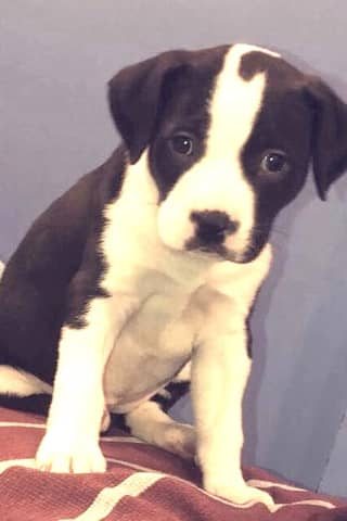 SEEN HER? Puppy Stolen In Saddle Brook Home Burglary