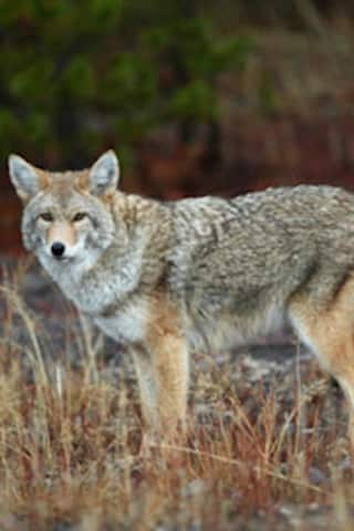 Coyote Sighting Causes Lock-In At Several Schools In Westchester